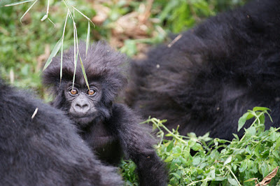 Bradford Duplisea Baby Mountain Gorilla, Virunga National Park, Rwanda. Rwanda is one of only three countries in the world where the critically endangered mountain gorillas live in the wild.