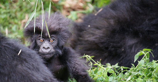All About Endangered African Mountain Gorillas