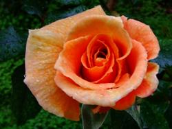 WET ROSE 03