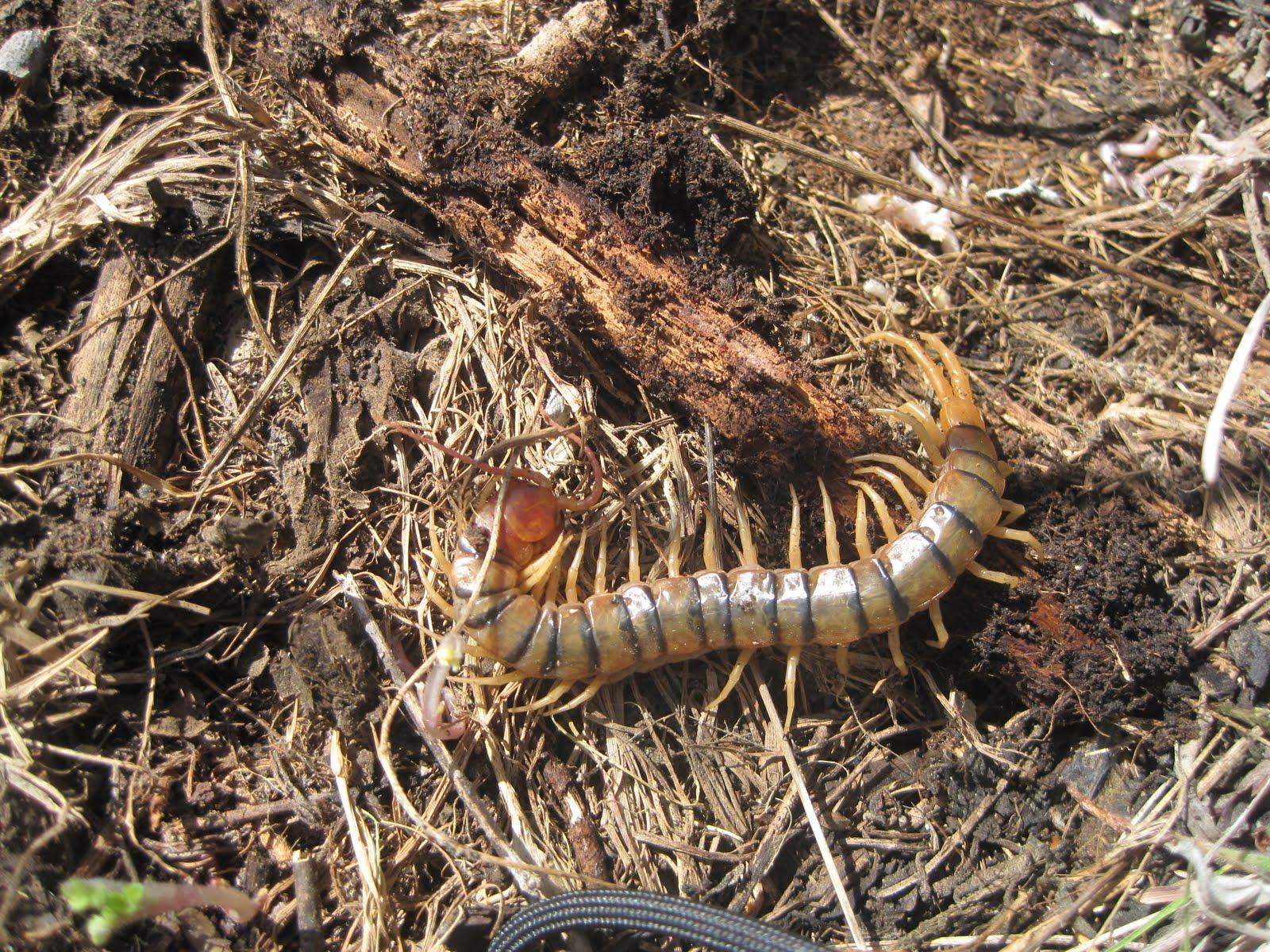 nature usa: Kansas Giant Centipede