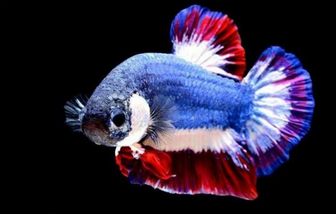 Ikan Cupang Termahal Dan Terlangka di Dunia - Cupang Sehat