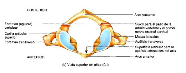 Foramen vertebral columna anatomía atlas