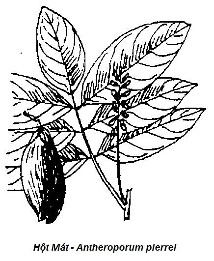 Hình vẽ Cây Hột Mát - Antheroporum pierrei-Nguyên liệu làm thuốc Có Chất Độc
