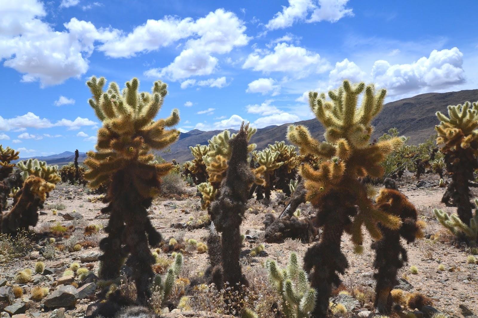 Katie Wanders : Cholla Cactus Garden - Joshua Tree ...