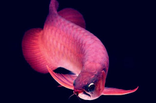 Ikan Arwana Tidak Mau Makan