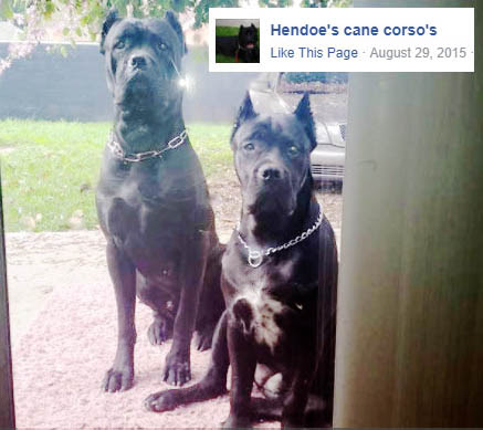Four Legged Friends And Enemies California Cane Corso Breeder