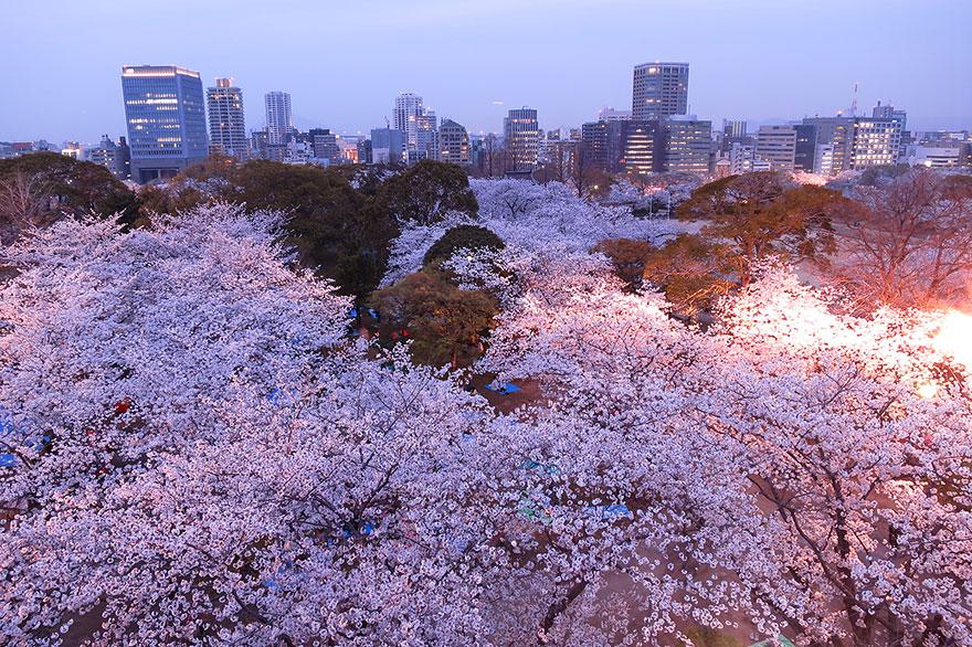 cherry-blossom-sakura-10