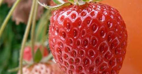 d25a999abfd43 How to Grow Strawberries in a Container ~ Extremely Clean Detail