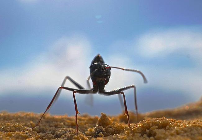 Penelitian Desert Ants Possess Distinct Memories for Food and Nest Odors