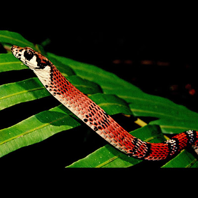 A canopy-dwelling snake discovered in the Sinharaja World Heritage Site, Sri Lanka