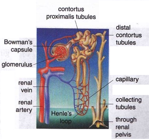 Proximal And Distal Tubules