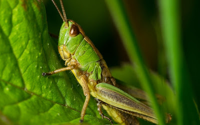 grasshopper widescreen resolution hd wallpaper