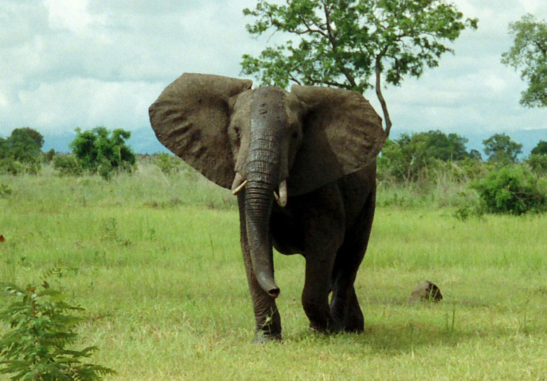african elephant bush animals animal legs national trunk
