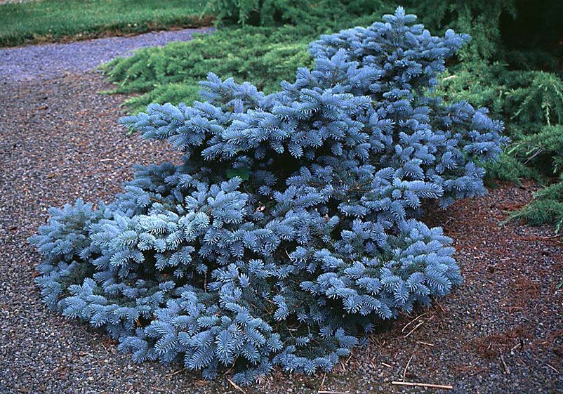 Blue Mist Colorado Spruce Evergreen Shrub Groundcover Woody Plant Of The Day