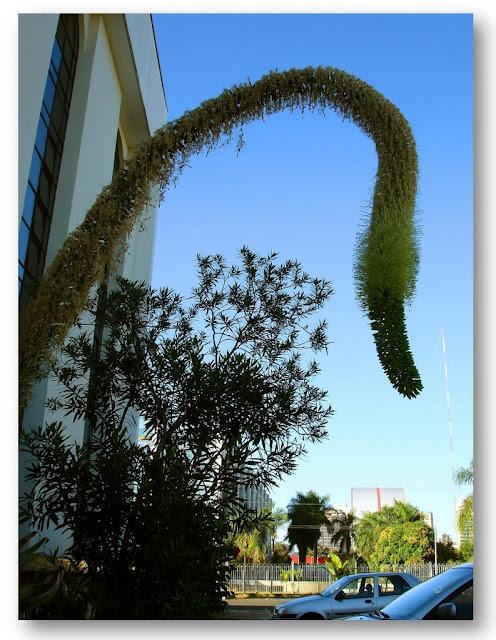 De nome científico Agave attenuata, a planta é conhecida também como agave-dragão. É originária do México, bastante resistente e suporta bem climas que vão do calor ao frio extremos, assim como a escassez de água .