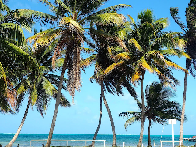 Palm trees on the shore of Caye Caulker, Belize