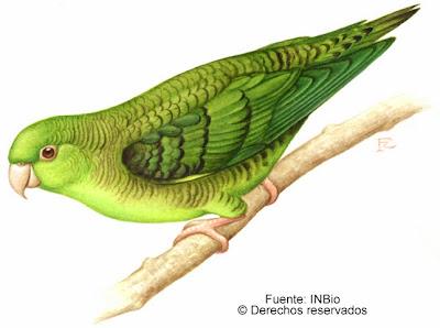 Catita barrada Bolborhynchus lineola