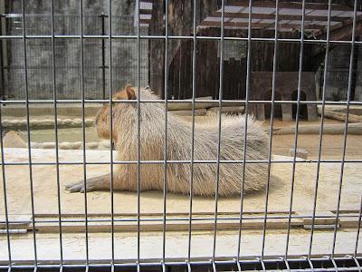 神戸市立王子動物園 カピバラ