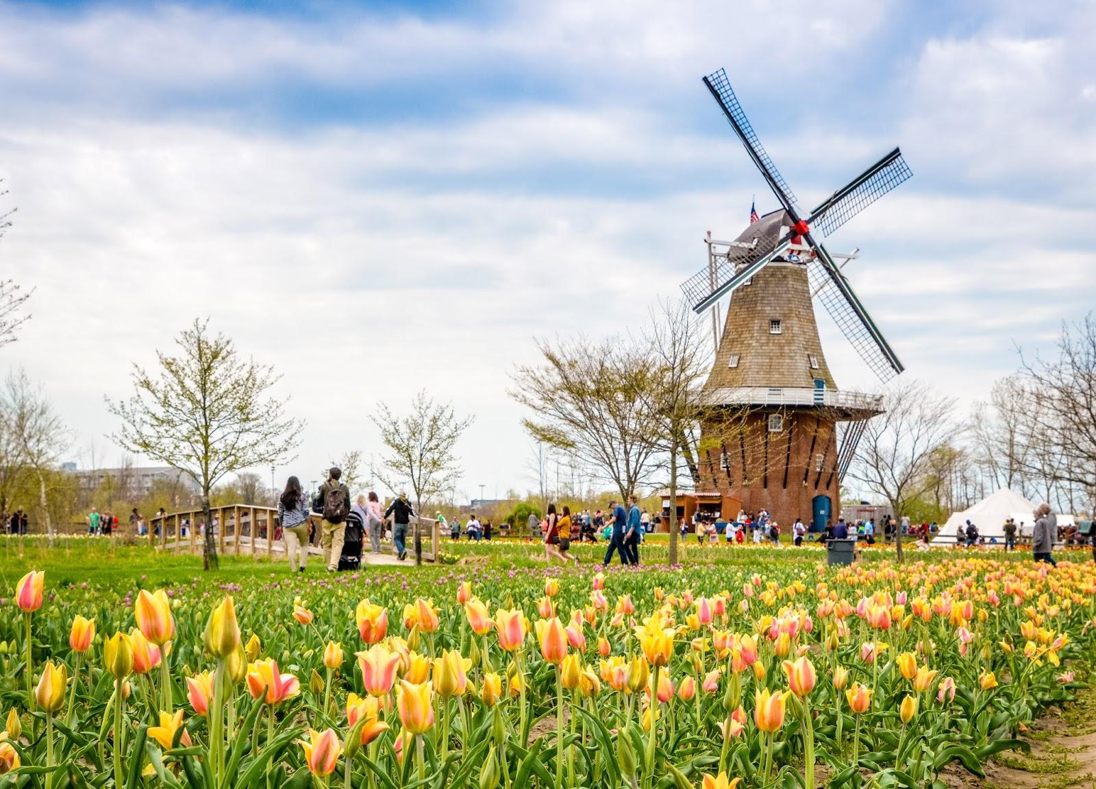 Windmill Gardens Tulip Festival