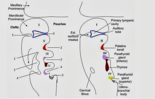MBBS Medicine (Humanity First): Pharyngeal pouches
