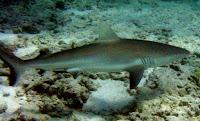 Tubarão de Galápagos