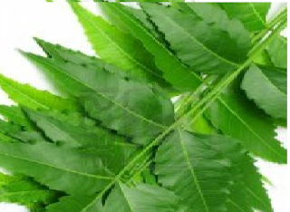 Benefits of Neem for hair, skin and health How to use neem to heal wounds and rashes