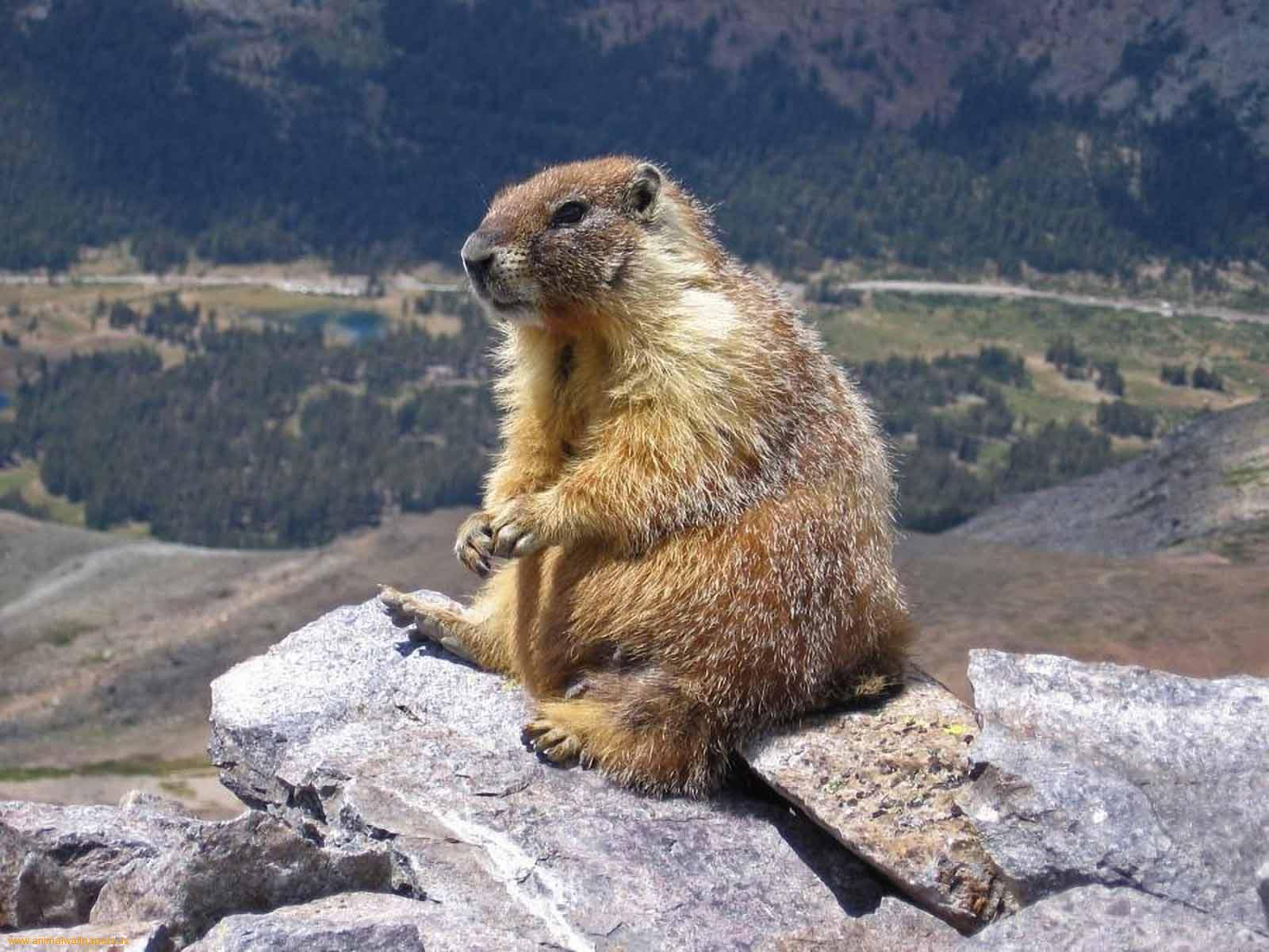Groundhogs Animals | Latest Facts & Pictures | All ...