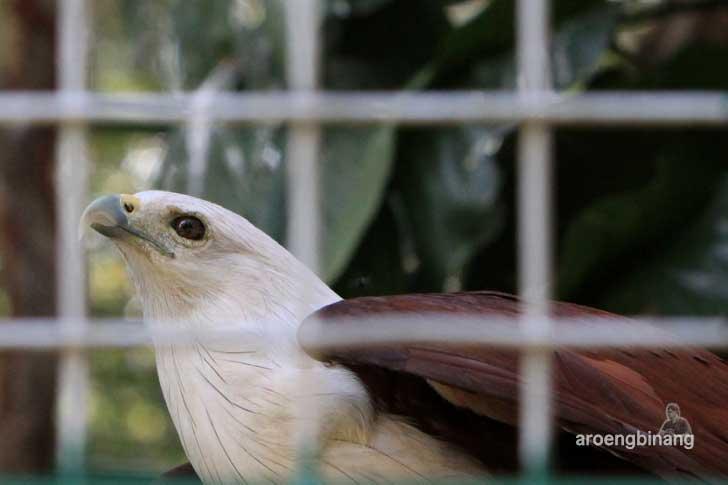 elang bondol kebun binatang ragunan jakarta