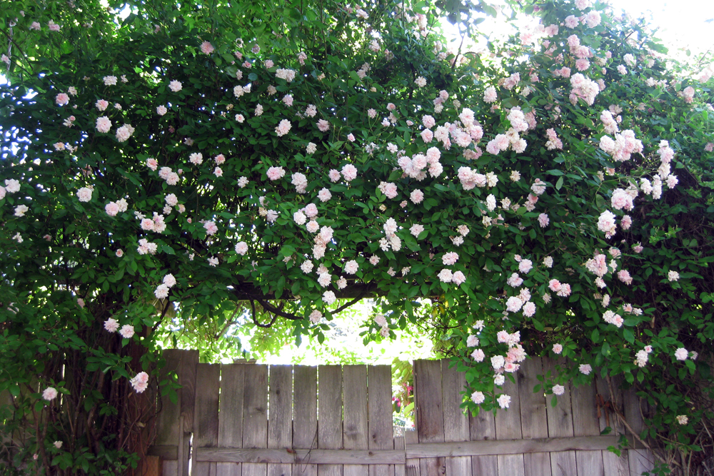 Fast Growing Climbing Roses Home Safe