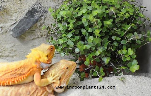 Callisia Repens indoor house plant image