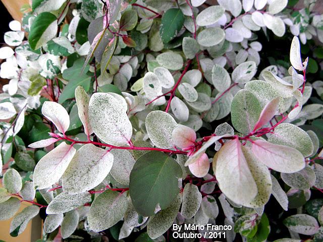 Arbusto folhas coloridas