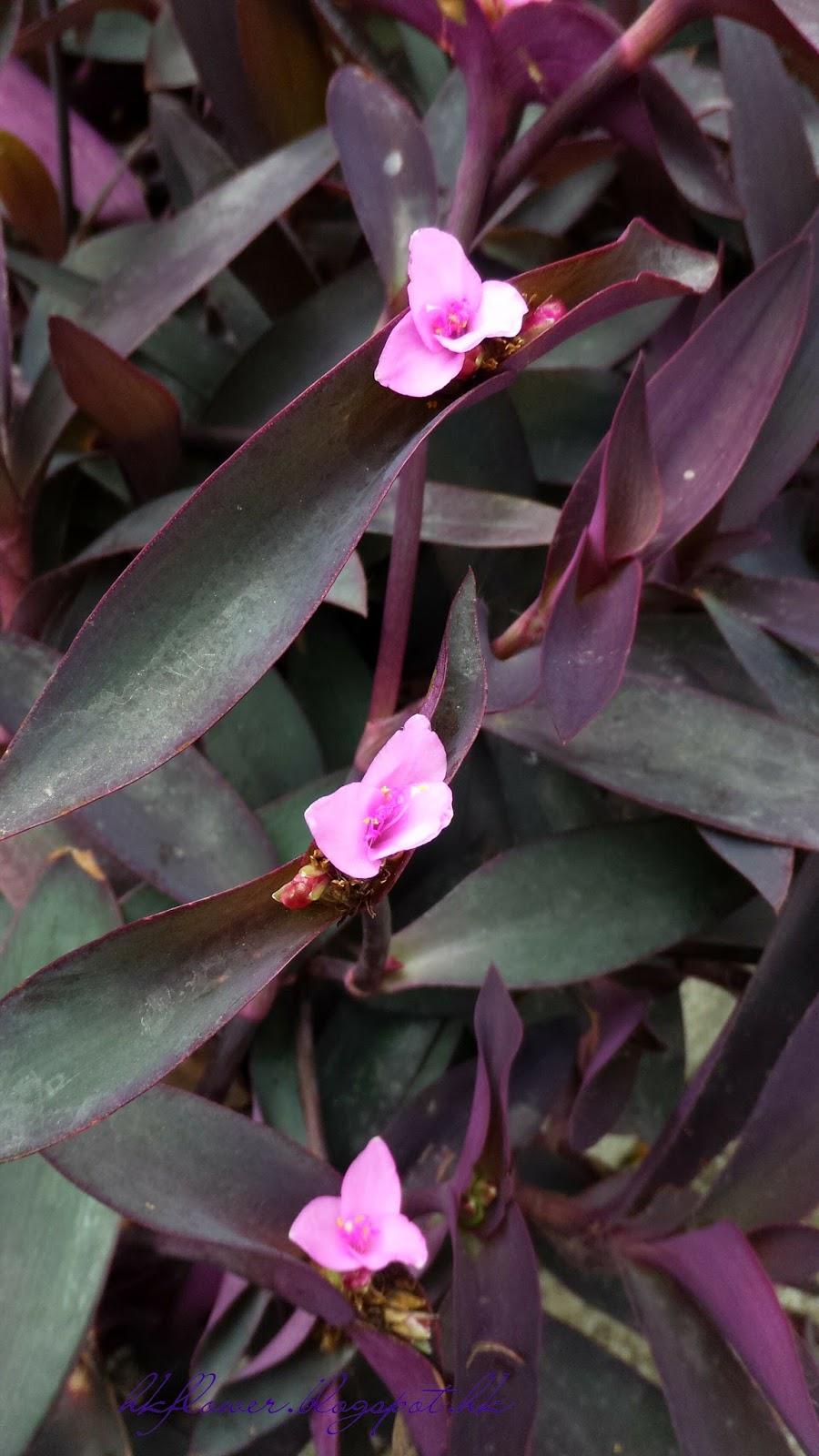賞花情報: 紫葉小紫花有藥用價值-紫錦草