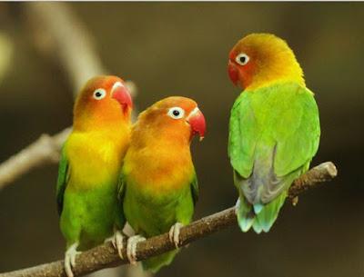 Koloni burung Lovebird