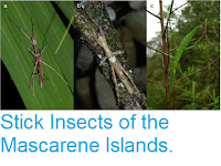 https://sciencythoughts.blogspot.com/2015/09/stick-insects-of-mascarene-islands.html