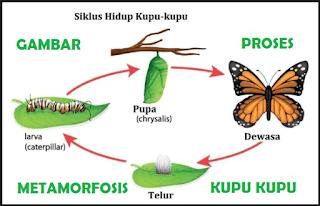 proses metamorfosis kupu kupu, gambar metamorfosis kupu kupu