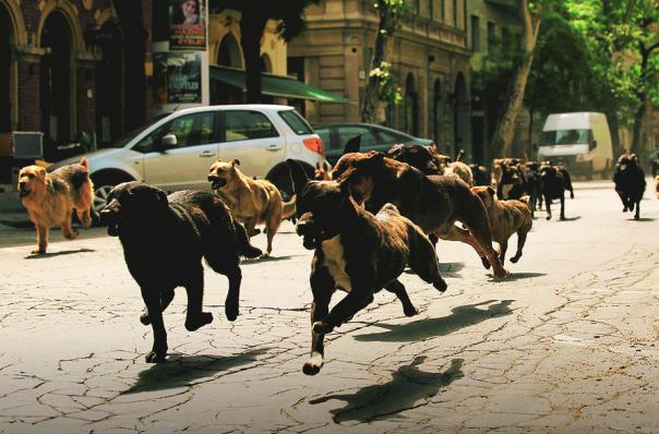 la meute de chien envahit Budapest