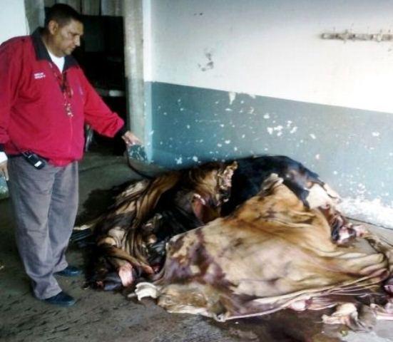 Descuartizadas-dentro-de-un-matadero-encuentran-reses-robadas-en-La-Villa