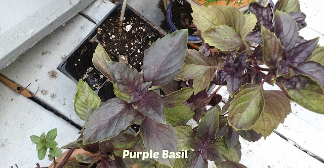 purple basil growing in a planter