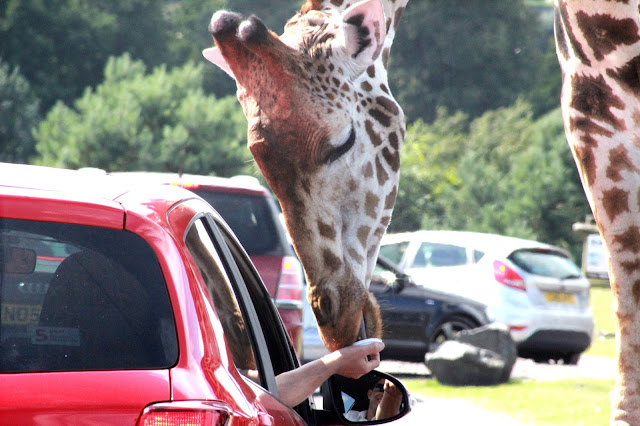 west midlands safari park, giraffe, endangered animals, wild animals, day out, animal lover