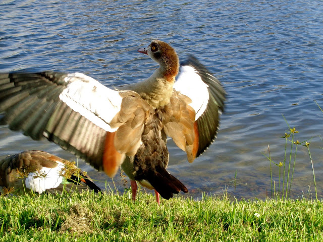 Egyptian Goose flapping its big wings
