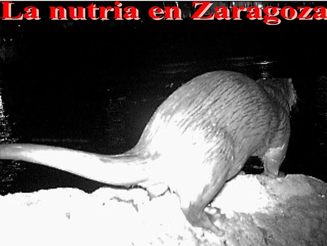La nutria en Zaragoza