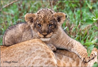 Pequeño león sobre su madre