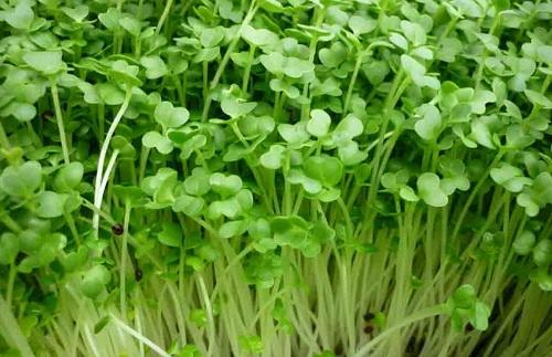 Rau mầm bông cải xanh TPHCM