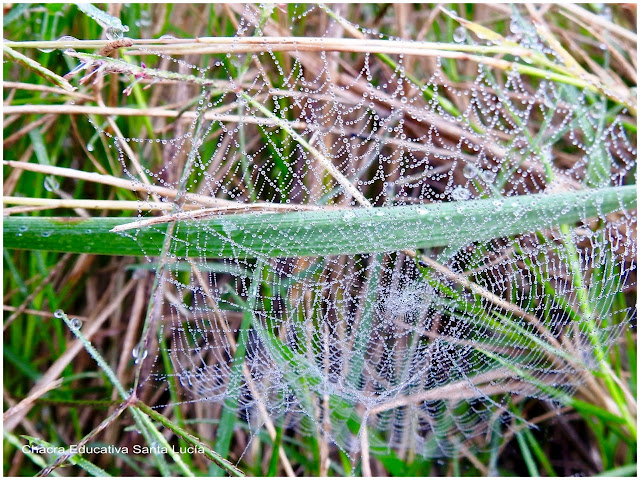 Gotas de rocío en una tela de araña - Chacra Educativa Santa Lucía