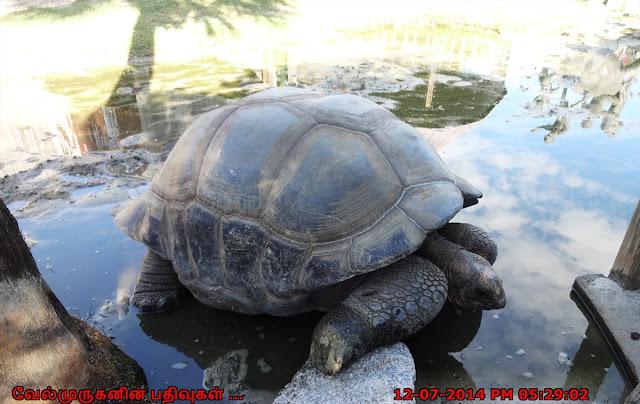Galapagos - Galápagos giant tortoise