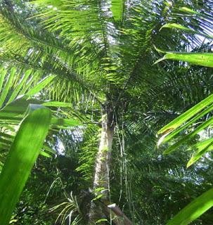 Pohon Nibung (Oncosperma tigillarium)