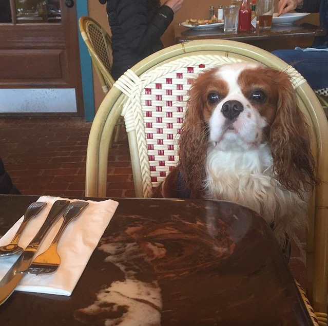 Blenheim Cavalier King Charles Spaniel at table in outdoor restaurant