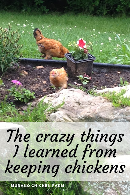 What I learned from chickens