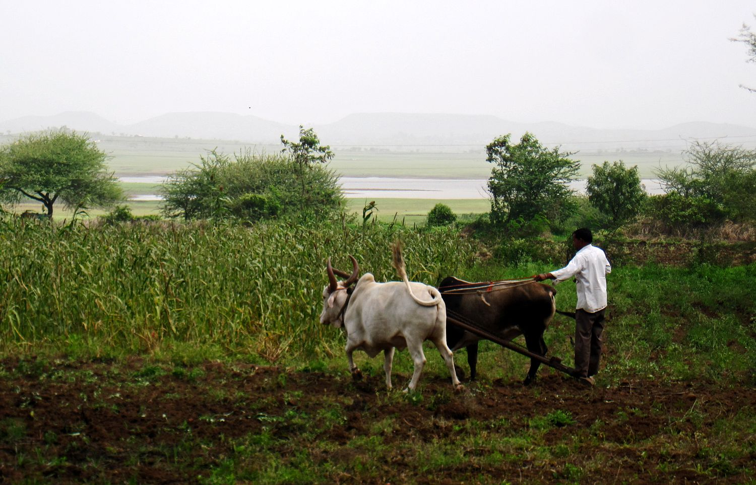 Stock Pictures: Man and Bullock cultivating field
