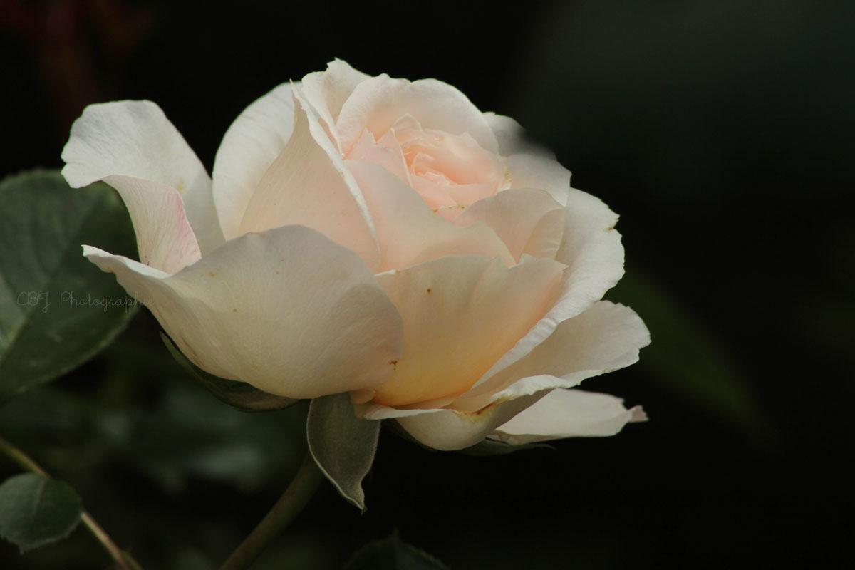 a fleur d'Ô: nos rosiers